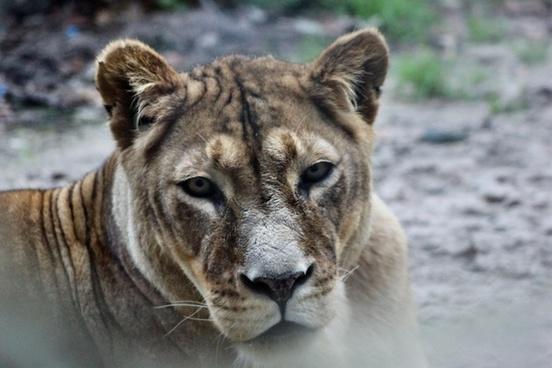 zoo animal cat