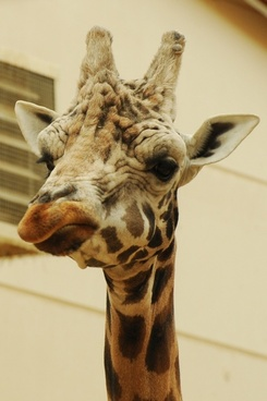 zoo animal giraffe