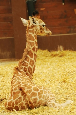 zoo animal giraffe