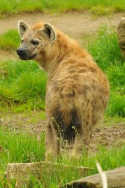 zoo animal hyena