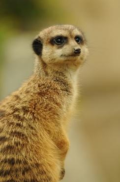 zoo animal meerkat