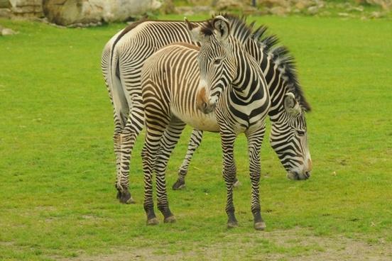 zoo animal zebra