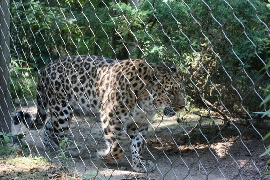 zoo leopard animal