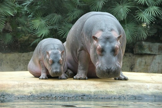 zoo pets hippos