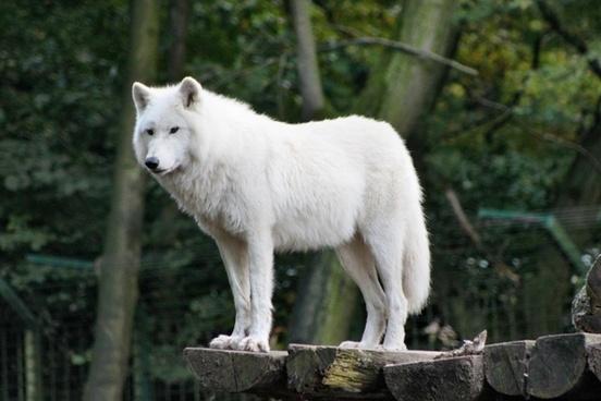 zoo wolf wild