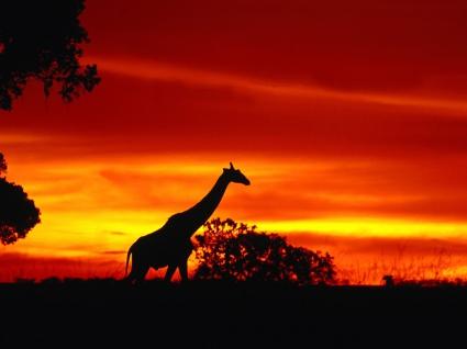 A Giraffe Journey at Dusk