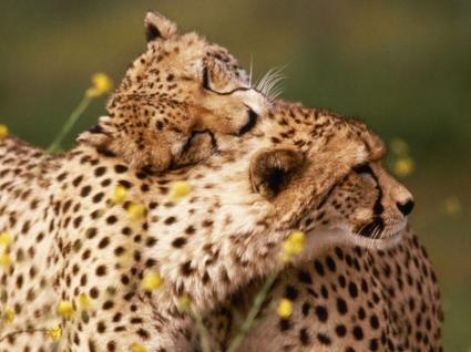 Affectionate Cheetahs