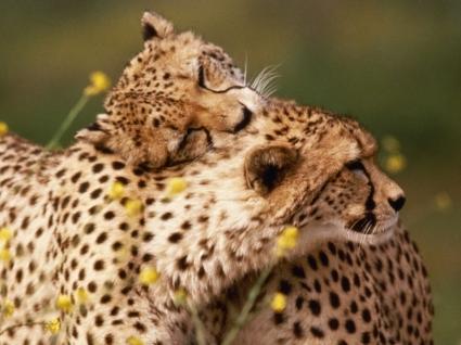 Affectionate Cheetahs Wallpaper Cheetahs Animals