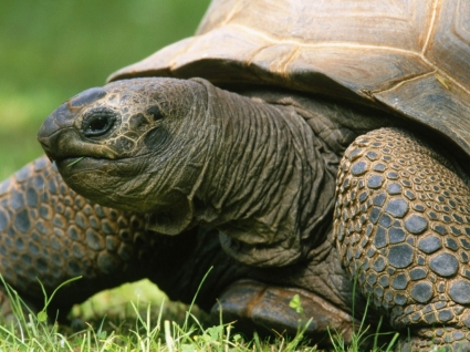 Aldabran Tortoise Wallpaper Turtles Animals