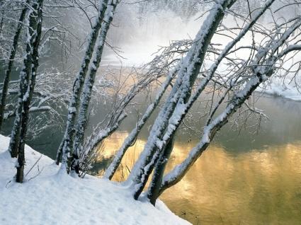 Alder Trees Wallpaper Winter Nature