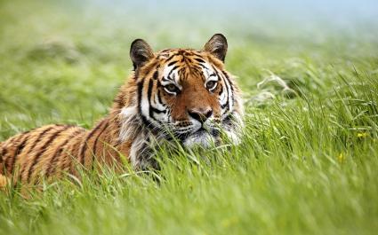 Amazing Siberian Tiger