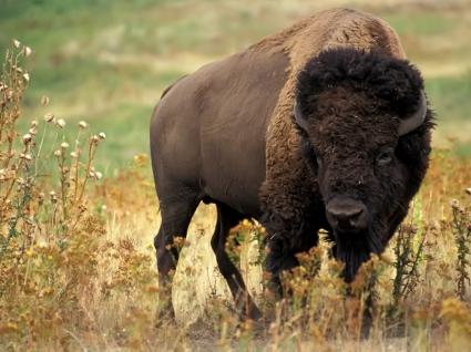 American bison Wallpaper Other Animals