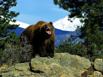 Angry Bear Wallpaper Bears Animals
