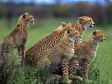 Anticipation Wallpaper Cheetahs Animals