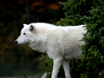 Arctic Wolf Wallpaper Wolves Animals