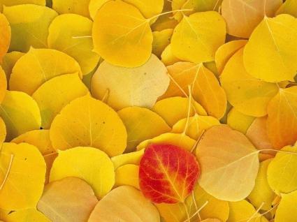 Aspen Leaves Wallpaper Autumn Nature