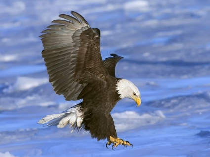 Bald Eagle in Flight Wallpaper Birds Animals