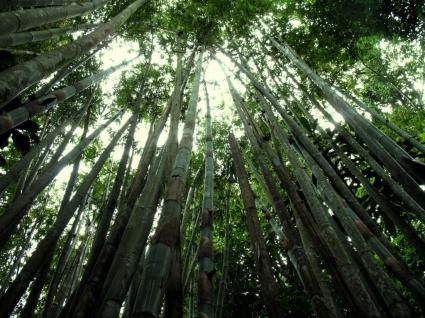 Bamboo Forest Wallpaper Landscape Nature
