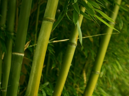Bamboo Wallpaper Plants Nature