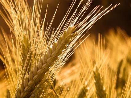 Barley Wallpaper Plants Nature