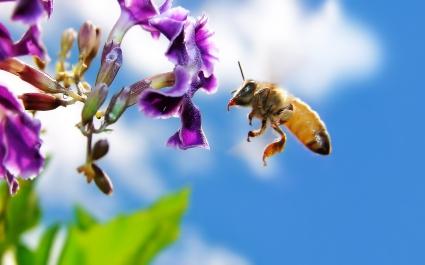 Bee on Flower Widescreen