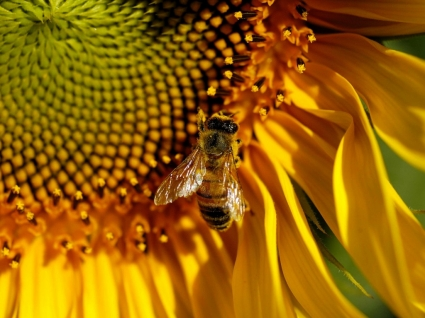 Bee Wallpaper Insects Animals