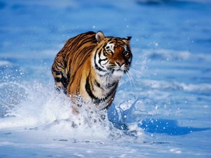 Bengal Tiger Wallpaper Tigers Animals