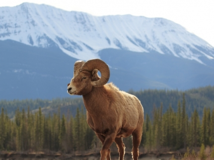 Bighorn Sheep Wallpaper Other Animals