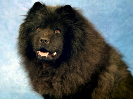 Black Chow Chow Wallpaper Dogs Animals