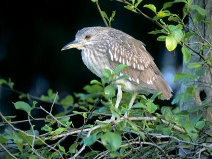 Black Crowned Night Heron Wallpaper Birds Animals