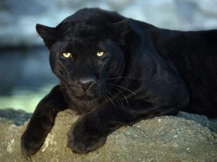 Black Leopard Wallpaper Big Cats Animals