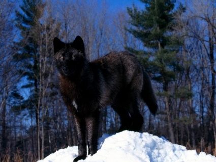 Black Wolf in Snow Wallpaper Wolves Animals