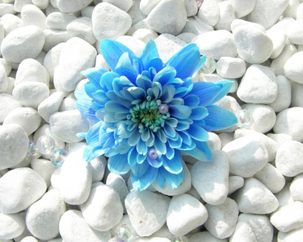 Blue Flower Wallpapers In Jpg Format For Free Download