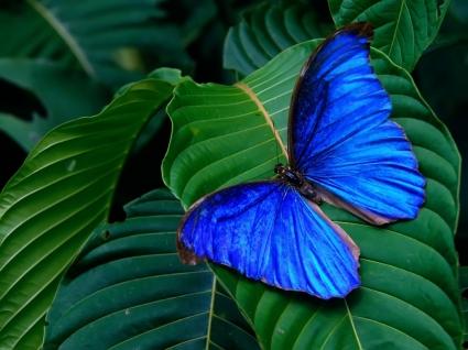 Blue Morpho Amathonte Wallpaper Butterflies Animals