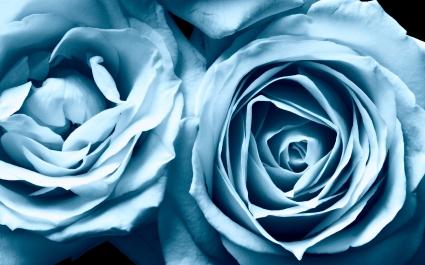 Blue Roses Widescreen