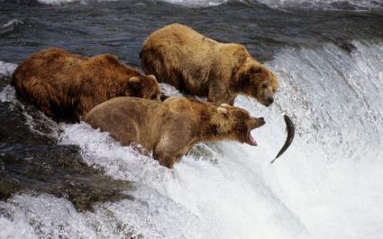 Brown Bears Alaska