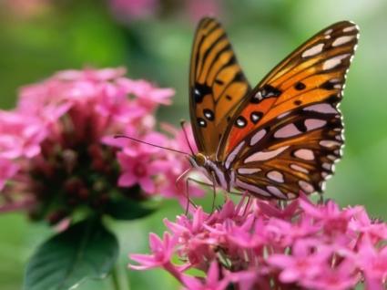 Butterfly on a pink flower Wallpaper Butterflies Animals