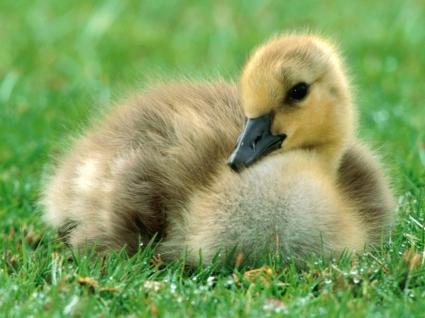 Canada Gosling Wallpaper Baby Animals Animals