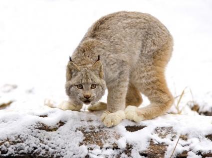 Canadian Lynx Wallpaper Big Cats Animals