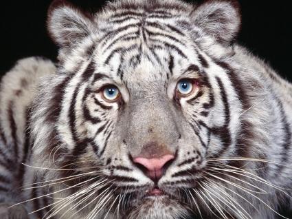 Captivating Eyes Wallpaper Tigers Animals