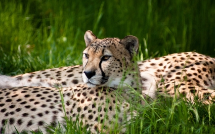 Cheetah Dual Monitor