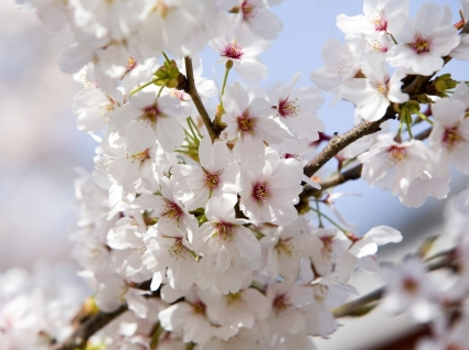 Cherry Blossoms Wallpaper Flowers Nature