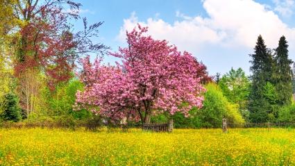 Cherry Tree HDTV 1080p