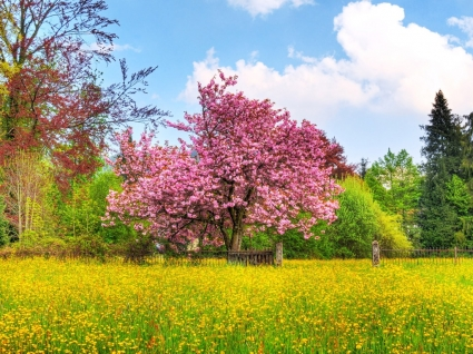 Cherry Tree Wallpaper Plants Nature