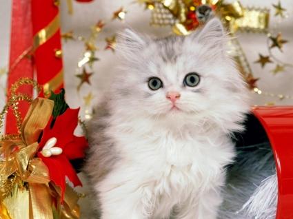 Christmas Kitten Wallpaper Cats Animals
