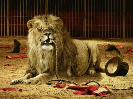 Circus Lion Wallpaper Big Cats Animals