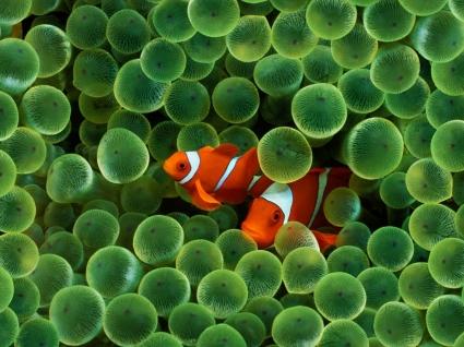Clown Fish Wallpaper Fish Animals