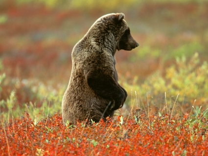 Concentrate Wallpaper Bears Animals