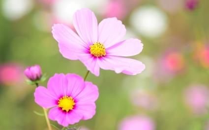 Cosmea Floral Bloom