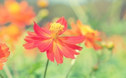 Cosmos Autumn Flower